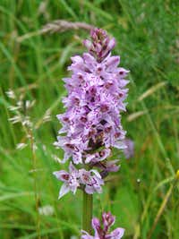 Wild Orchid - Colebatch Hill