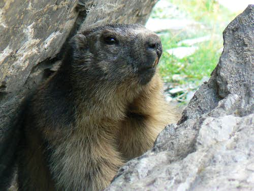 A marmot near the Peak of Aiguillous