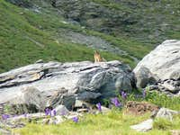 A marmot near the Peak of Aiguillous