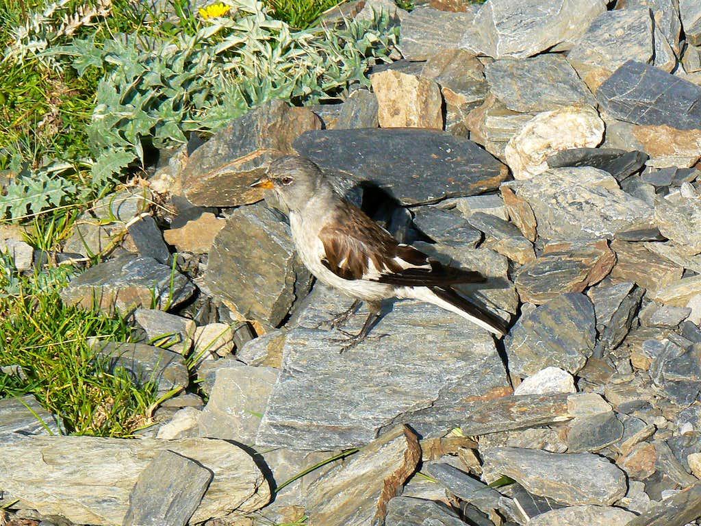 Little Snowfinch (Montifringilla nivalis) near the Peak of Aiguillous