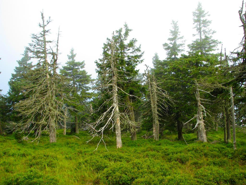 Dead Forest on Little Śnieżnik