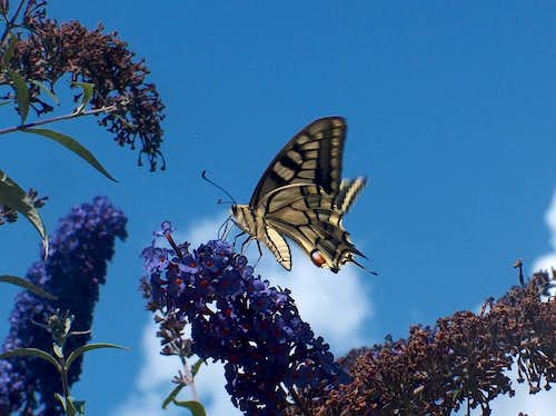 Swallowtail in the Pyrenees