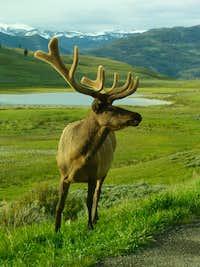 Elk in Yellowstone_05