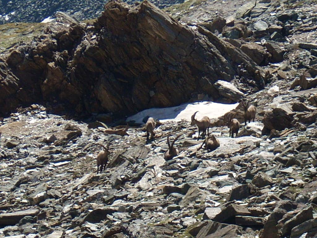 a group of ibex