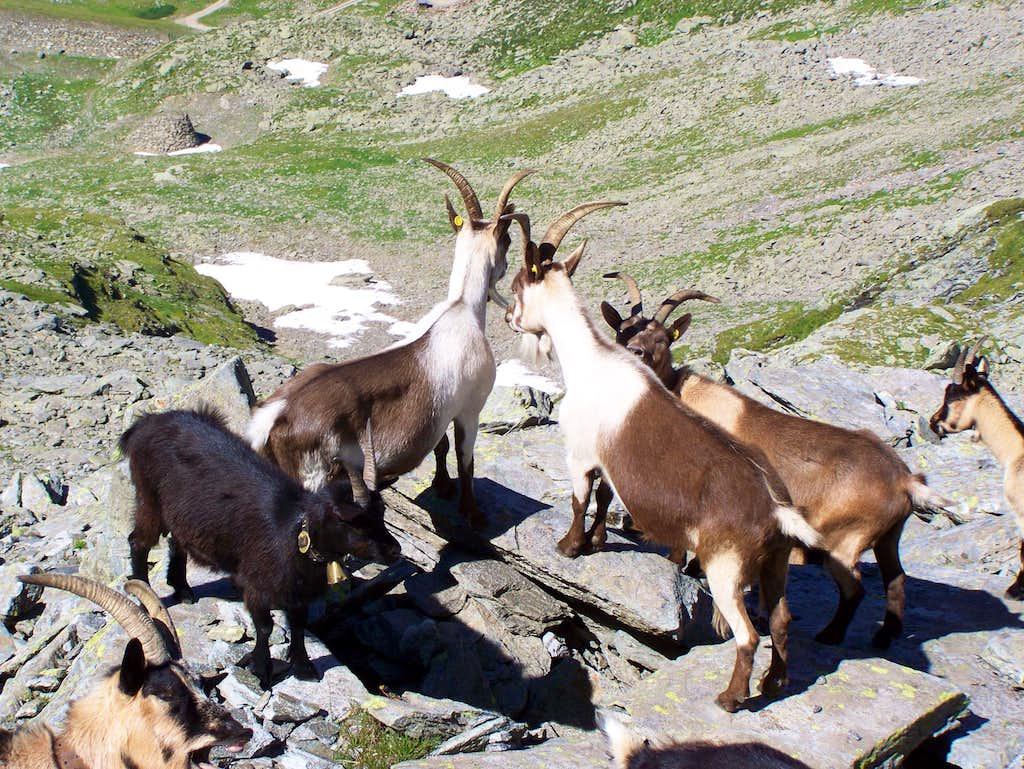 Goats guarding the mountain