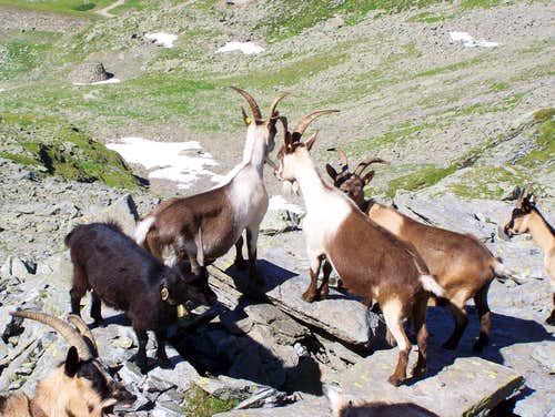 Goats guarding the mountain