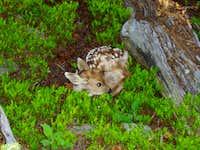 Fawn of a deer