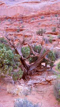 Gnarled juniper