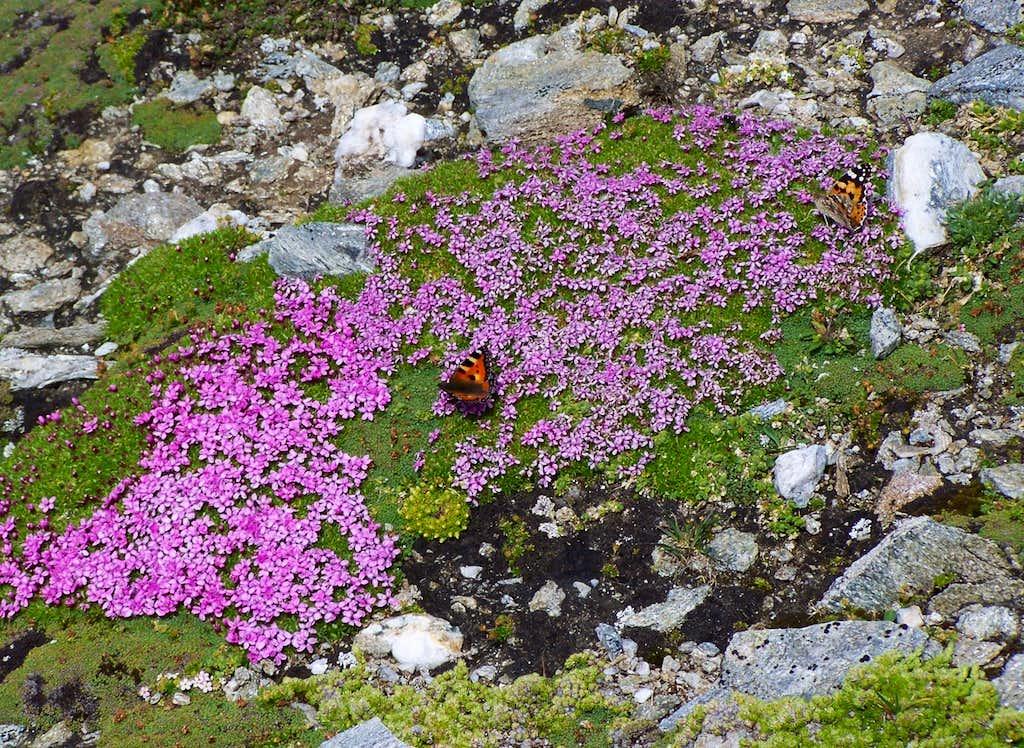 Butterflies (Nymphalis urticae and Vanessa cardui) on Hochfeiler