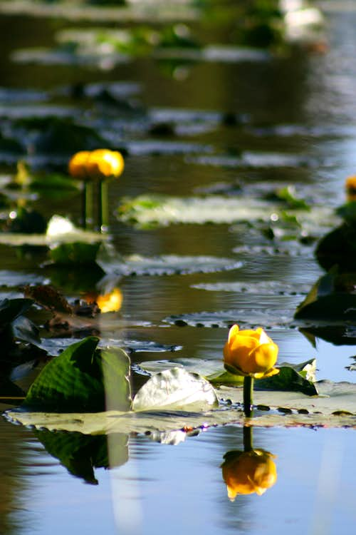 Pond Lilies at Nymph Lake