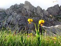 lilys under lučin vrh