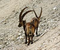 Ibexes of the Montasio group (1)