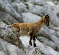 Ibexes of the Montasio group (2)
