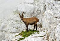 Ibexes of the Montasio group (3)