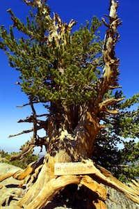 The Wally Waldron Tree, the...