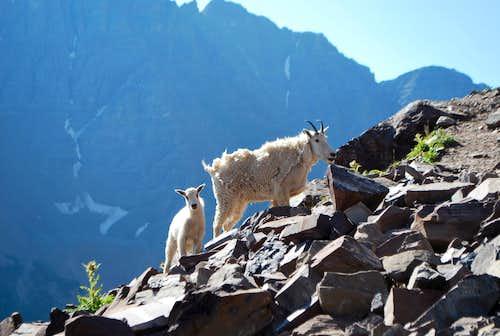 Goats on N. Maroon