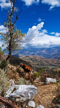 Cordillera Negra Cow/Tree/Cloud