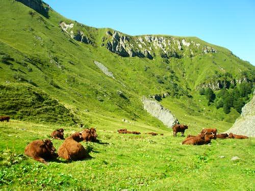 Cows at the val de la Courre