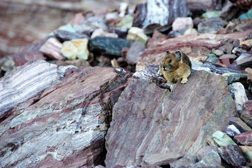 Pika In Glacier National Park