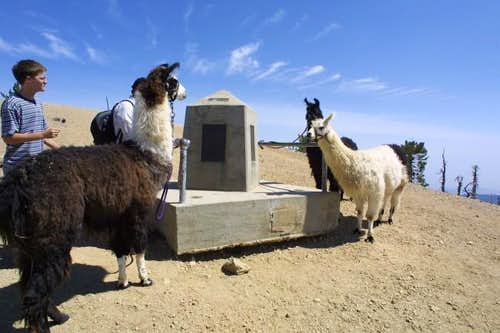 An Unusual Sight, Llamas at...