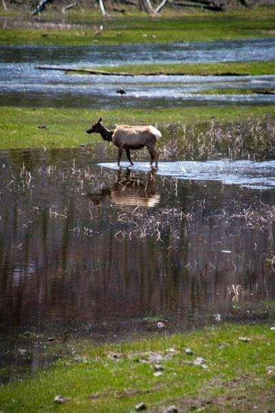 Cow Elk Wading