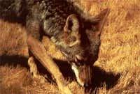 Coyote in Lee Metcalf