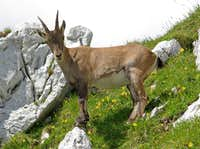 Ibexes of the Montasio group (7)