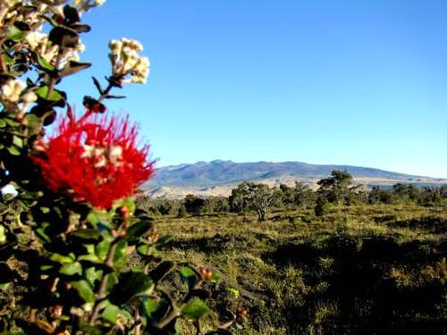 Ohi'a lehua bloom, Mauna Kea behind