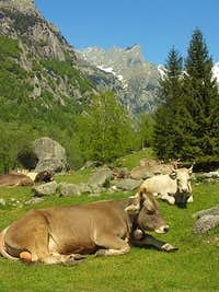 Cows in Mello's Valley.