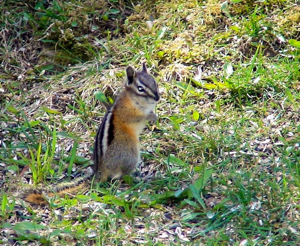 Surprised chipmunk
