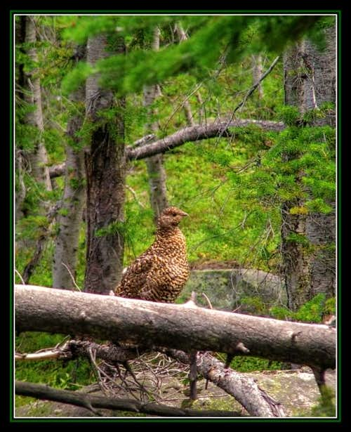 Female Grouse