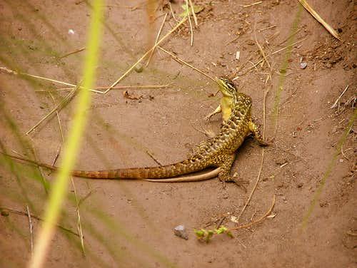Cuicocha lizards