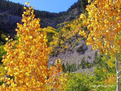 Quaking Aspens