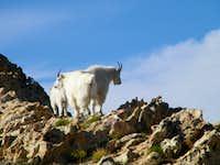 Mountain Goats on Willard Peak