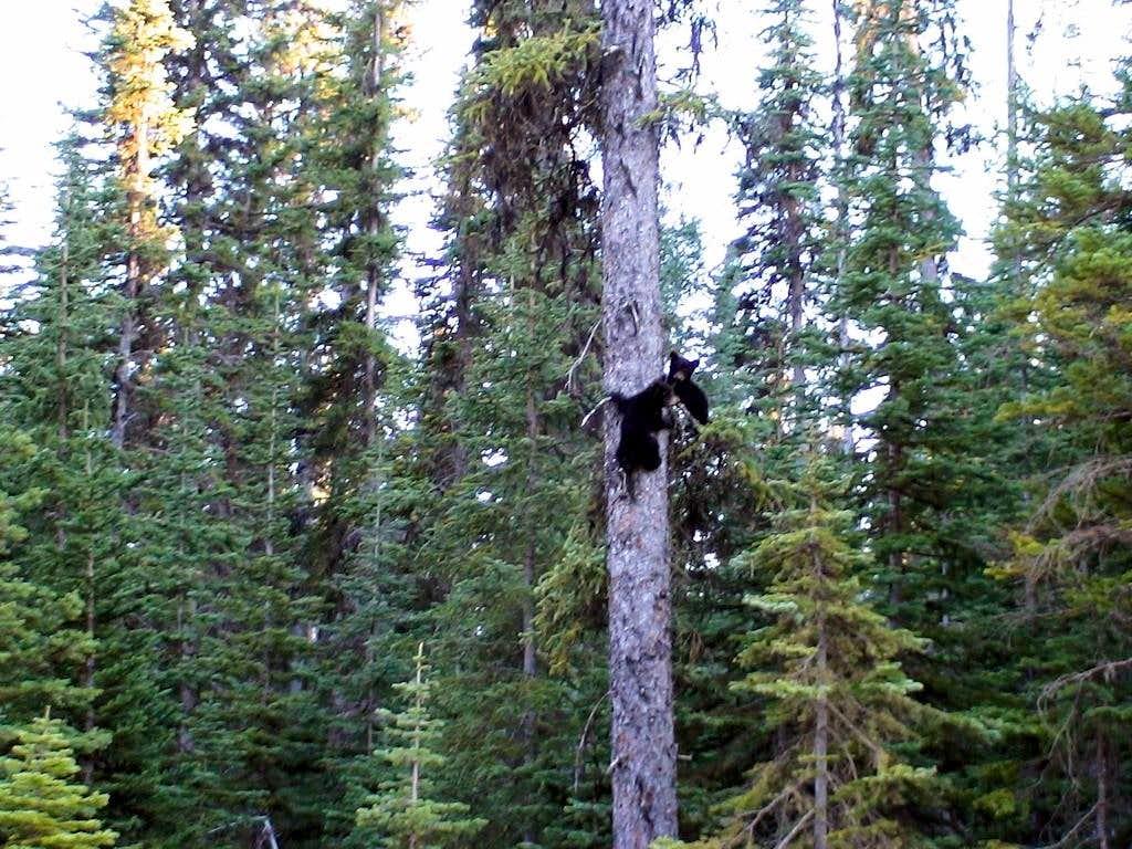 Blackbears on the tree