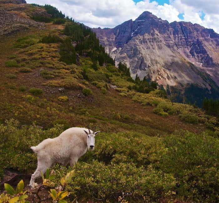 Mountain Goat, Willow Pass