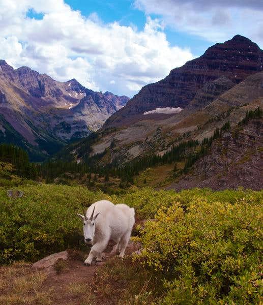 Mountain Goat in Minehaha Drainage