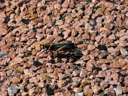 Locust Near Guadalupe Mountains