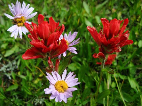 Indian Paintbrush with