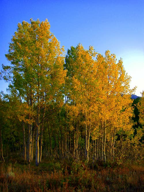 Some Quaking Aspen