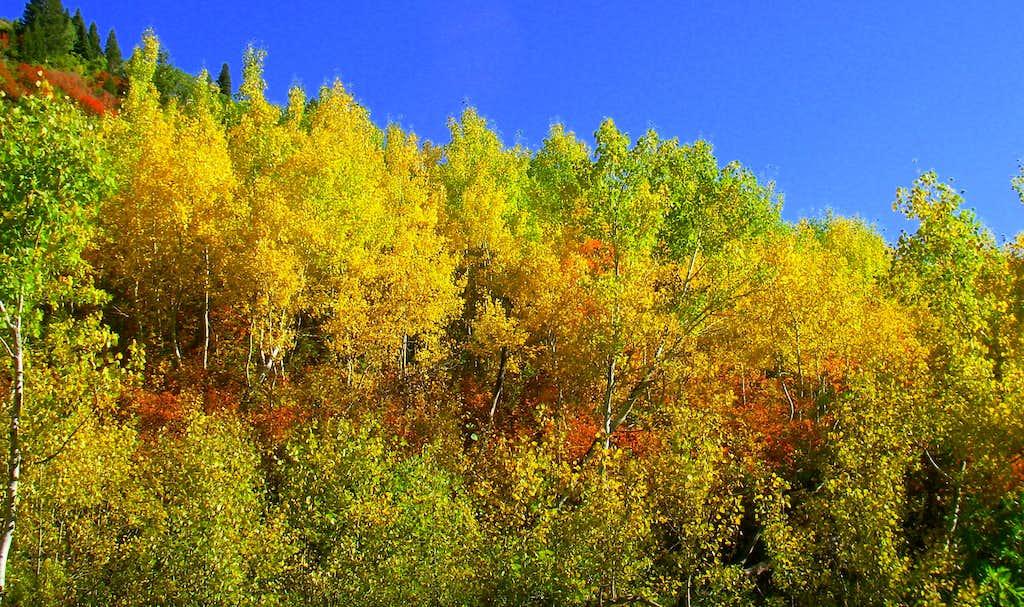 Aspen Grove Fall Colors..