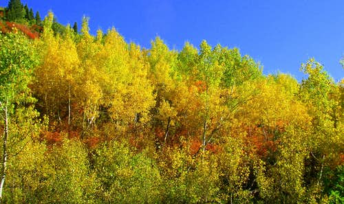 Aspen Grove Fall Colors..