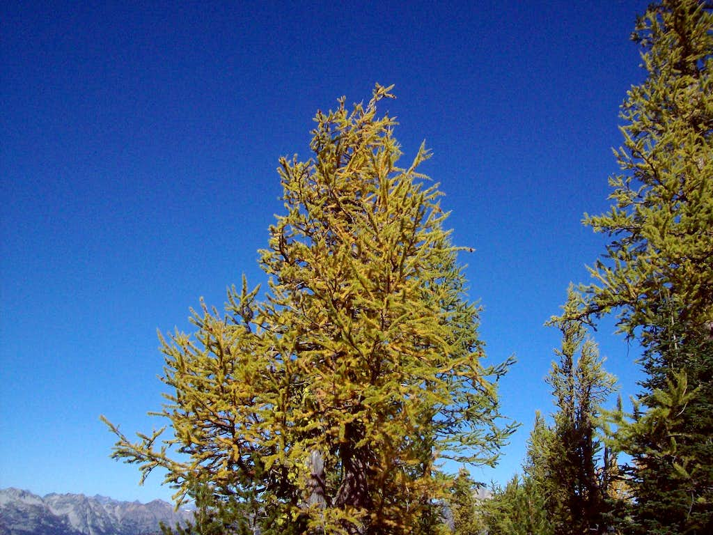 Crow Hill larches
