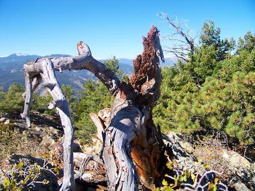Ladybugs on summit ghost tree