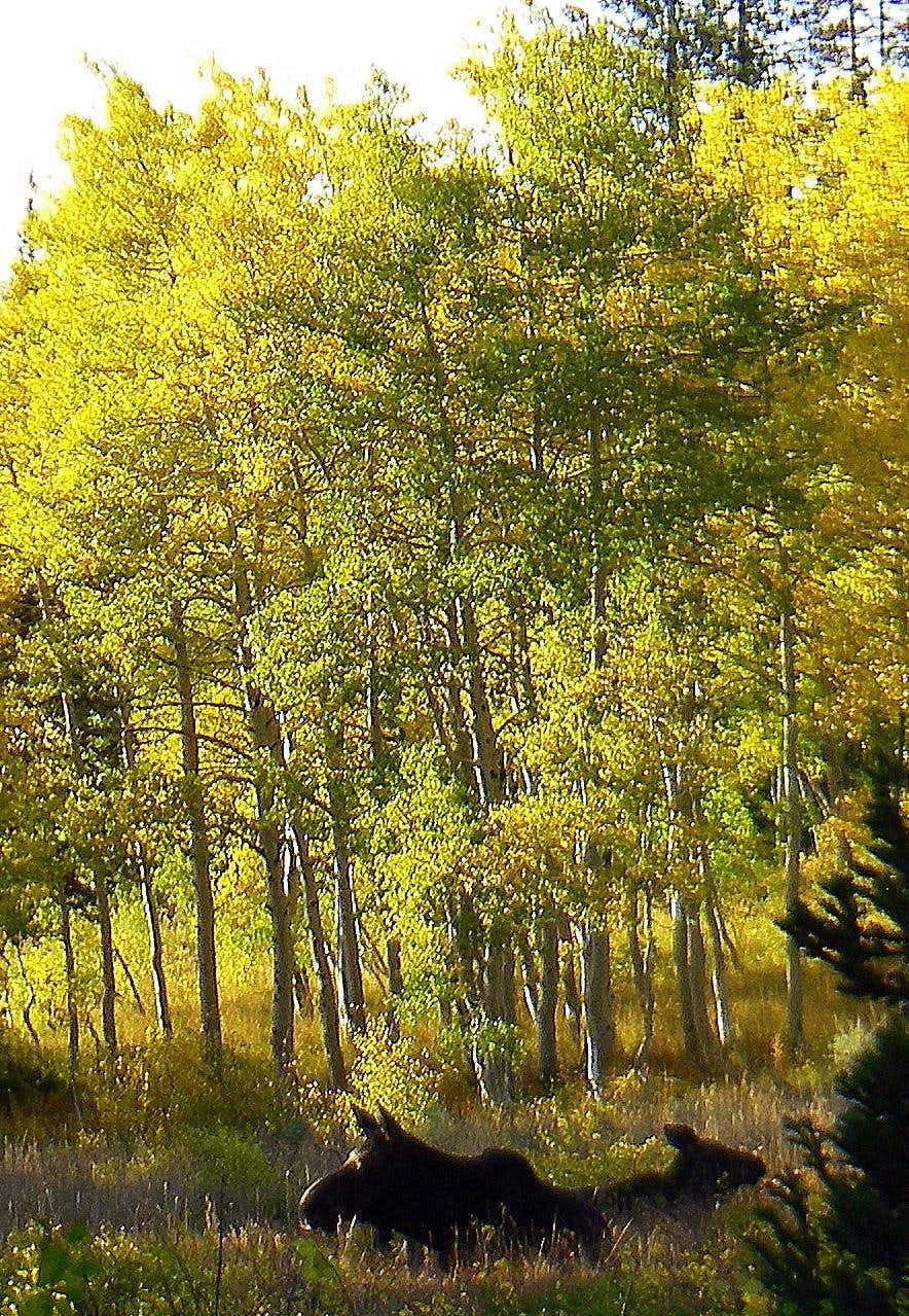 A Moose and her Calf take a rest near Peak 10,420