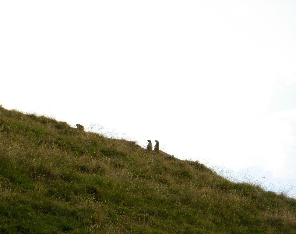 Marmots or meerkats