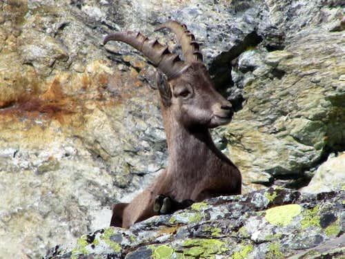 Ibex (Mumy)