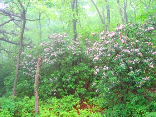 Mountain Laurel in bloom on...