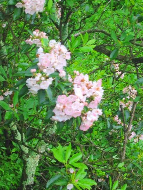Mountain laurel closeup.