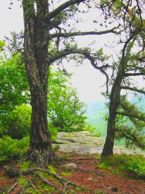 Summit pines.